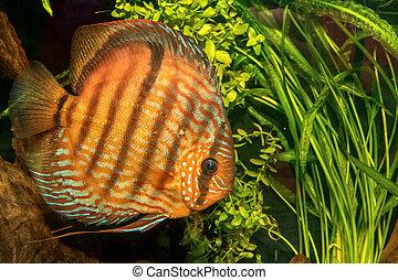Portrait of discus fish (Symphysodon discus) in a aquarium