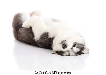 siberian husky puppy lying on white background isolated -...