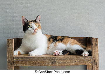 Cute calico cat sitting and looking - Cute calico cat lying...