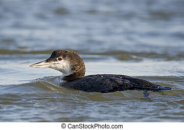Swimming Common Loon - A Common Loon swims in the water on a...