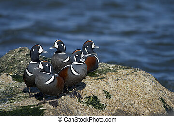 Harlequin Duck Flock - A group of male Harlequin Ducks stand...