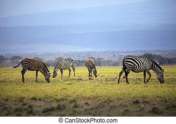 Zebras herd on savanna at sunset, Amboseli, Africa