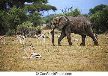 Elephants in Amboseli national park - Elephant in Amboseli...