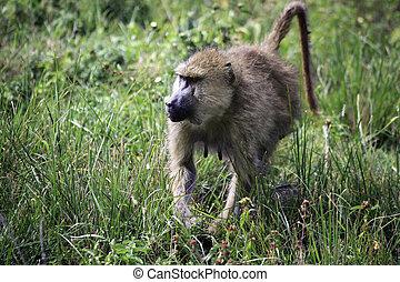 Baboon on savanna. Amboseli national park in Kenia