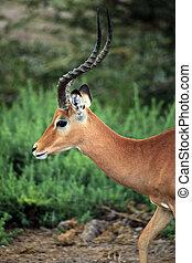 Antelope Impala (Aepyceros melampus)