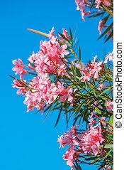 Beautiful pink nerium oleander flowers against blue sky on...