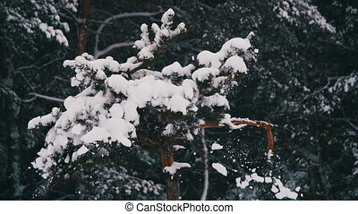 Snow Falling from the Snow-Covered Christmas Tree Branches in Winter Day. Slow Motion