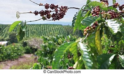 Coffee Plantation in Vietnam - Coffee plantation in the...