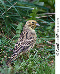 Yellowhammer (Emberiza citrinella) - Yellowhammer sitting on...