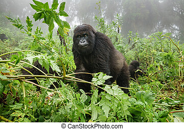 Female mountain gorilla observing tourists in the forest -...