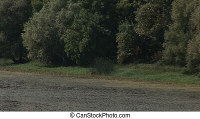deer at watering place,zoom out
