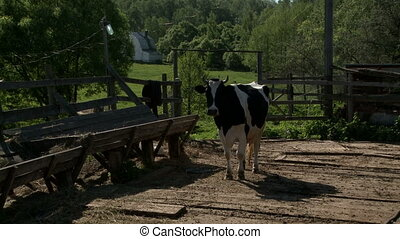 Cow walking from pasture to feeder in sunny day - Cow...