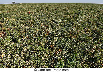 Tomatoes growing on the vine, Central Valley, California