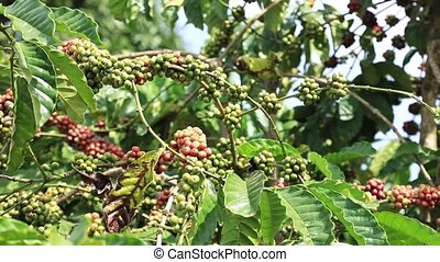 Branch with Coffee Berries - Close-up of branch with berries...