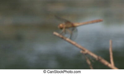 Dragonfly on a branch above the water