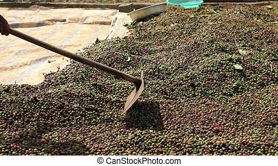 Drying Coffee Beans in the sun - Vietnamese farmer with a...