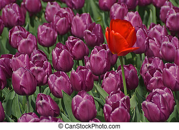 Dare To Be Different - A single red Tulip growing among a...