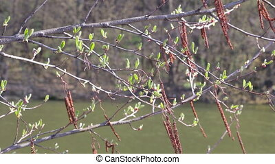 Branches of hazel with bud and catkins on the wind and...