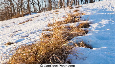Withered grass in snow on the hill in sunny winter day,...