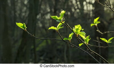 Closeup of green buds with little leafs on branches, spring...