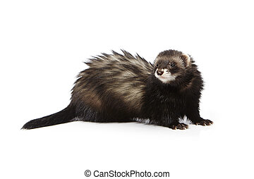Pretty black ferret on reflective white background - Ferret...