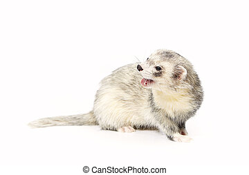 Nice silver ferret on reflective white background - Ferret...