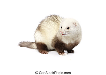 Nice light color ferret on reflective white background -...