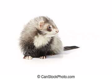 Nice angora ferret on reflective white background - Ferret...