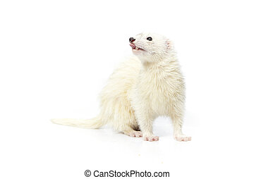 Nice dark eyed white ferret on reflective white background