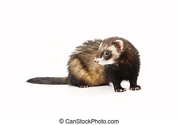 Lovely blind ferret on reflective white background - Ferret...