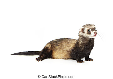 Pretty blind ferret on reflective white background - Ferret...