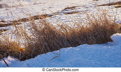 Withered grass on snow in sunny winter day, outdoors