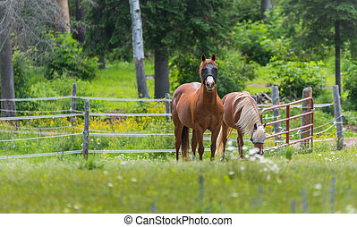 Two horses grazing and relaxing in a springtime summer meadow.