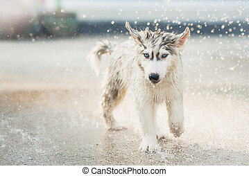 siberian husky puppy shakes the water off its coat. - Cute...