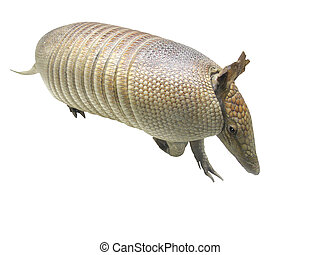 armadillo - The image of armadillo under the white...