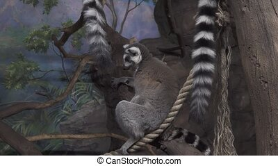 Funny Ring-tailed lemur on tree branch stock footage video -...