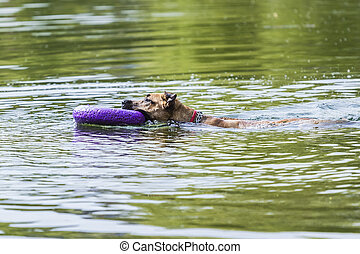 dog swims with the ring in his mouth on a summer day