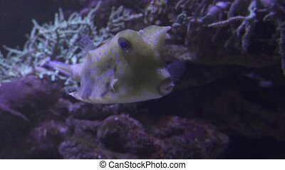 Yellow longhorn cowfish in saltwater aquarium stock footage...