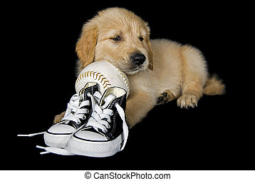 puppy with softball - Golden retriever pup with sneakers and...