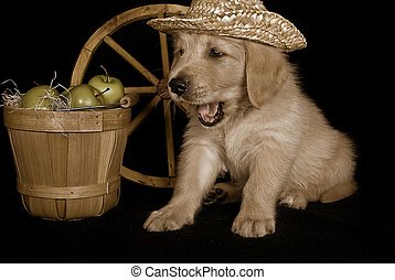golden pup in sepia - Golden retriever with apples in sepia...