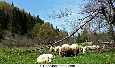 Sheeps on green meadow, picturesque landscape