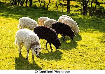 Green meadows with sheep grazing in a beautiful area, black...