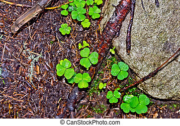 Shamrock green on the ground - Oxalis leaves green...