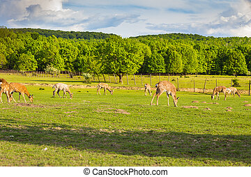 deer herd grazing in the green field, Transcarpathia