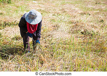 Woman farmer are harvesting rice in field, agriculturist