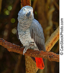 African Grey Parrot - The Congo African Grey Parrot...