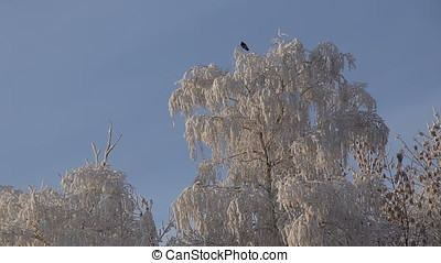 Beautiful snowy trees, frost on the branches, a bird flies...