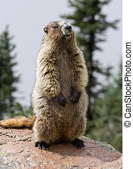 Standing Guard - Hoary Marmot keeping an eye on the...