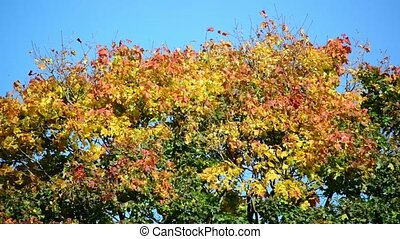 The tops of maple with orange leaves swaying in wind - The...