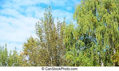 Birch trees with yellow and green leaves swaying in wind